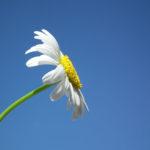 Gänseblümchen zählen zu den essbaren Blüten