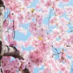 Kirschblüten erwecken Frühlingsgefühle