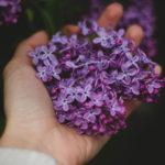 Lavender duftet herrlich. Die Felder in Südfrankreich sind ein Traum!