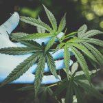 Hanfpflanze - CBD - was die Hanf Beauty wirklich kann!